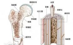 骨髓的作用
