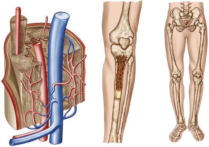 我们的骨髓主要由什么物质组成呢?